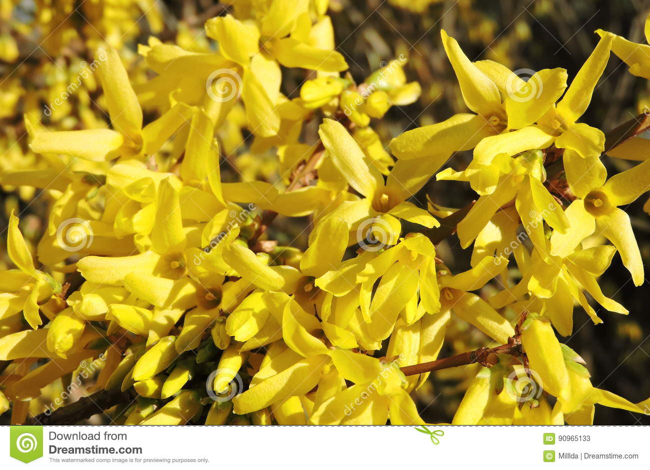 Yellow spring bush stock image image of white flower 90965133 yellow flowering bush in spring lithuania mightylinksfo