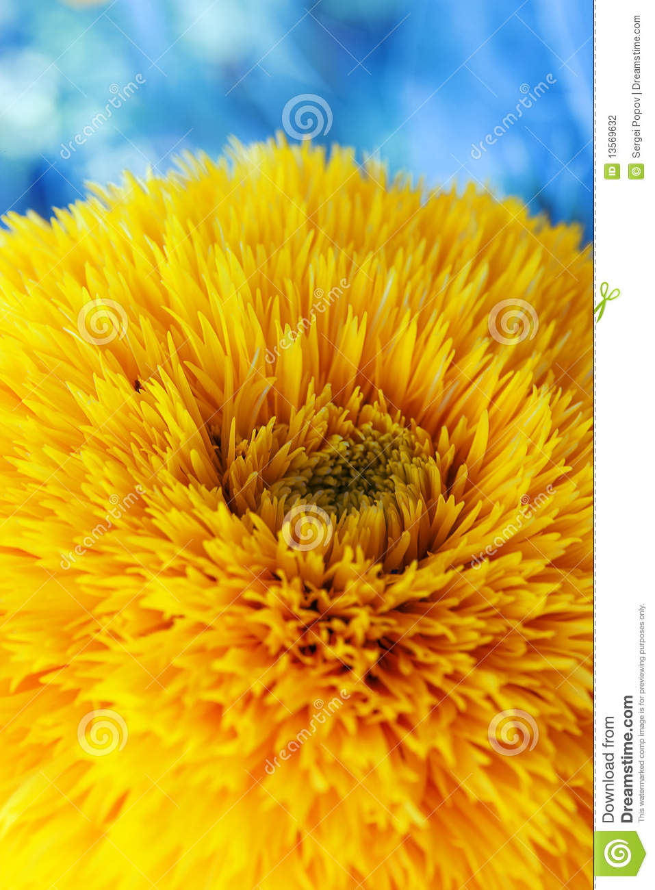 Yellow Spring Flower Stock Photo Image Of Blue Large 13569632