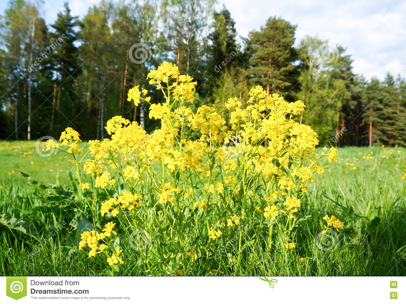 Yellow Spring Flower In Finland Stock Image Image Of Garden Flora