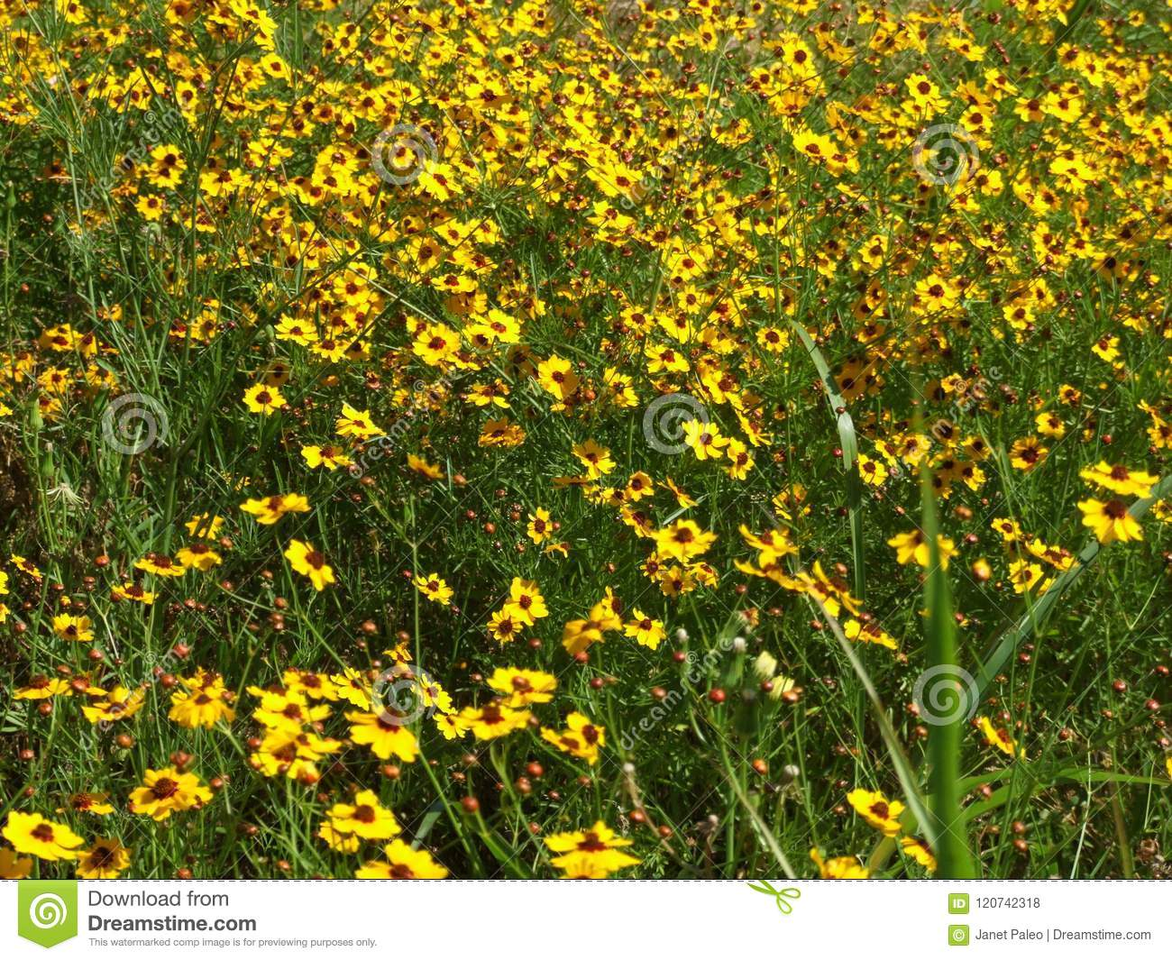 Multiple yellow spring flowers in grassy plains stock photo image download multiple yellow spring flowers in grassy plains stock photo image of texas mightylinksfo