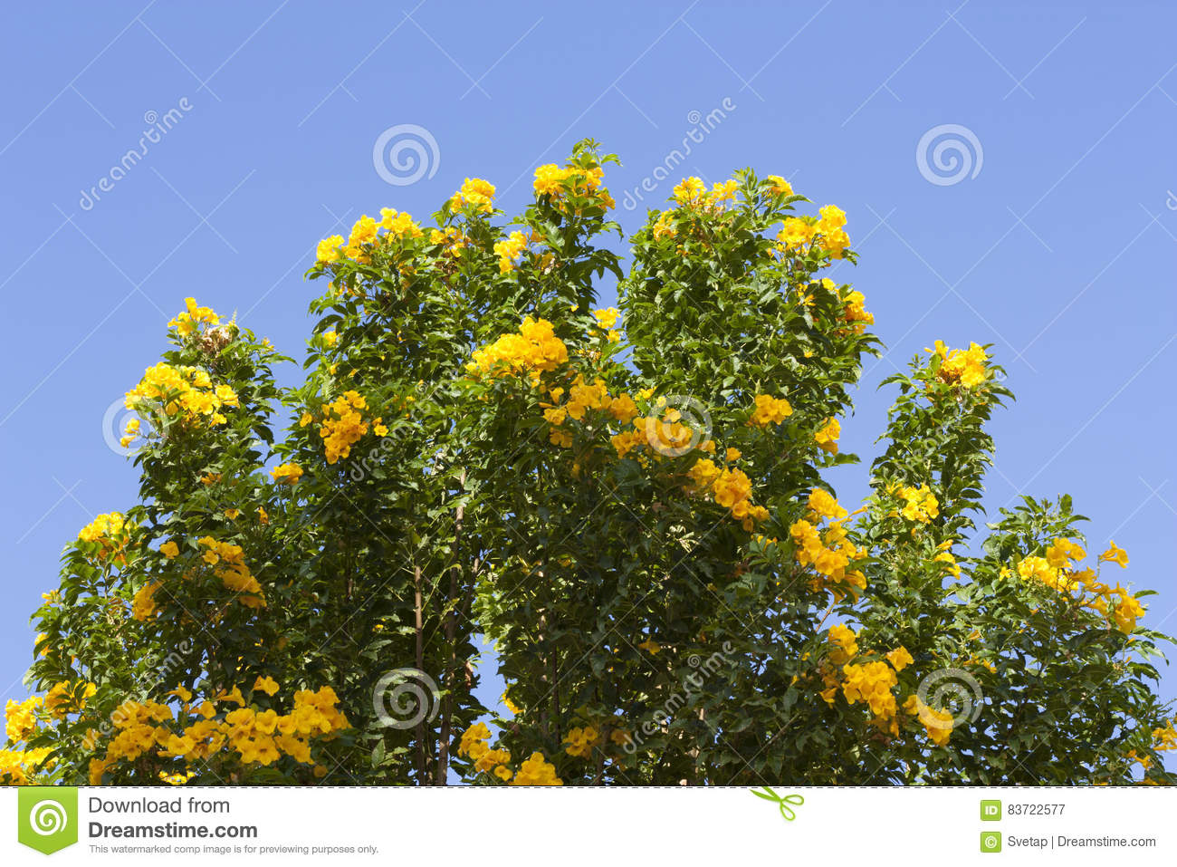 Yellow Spring Flowers On The Tree Over Blue Sky Photo Stock Photo
