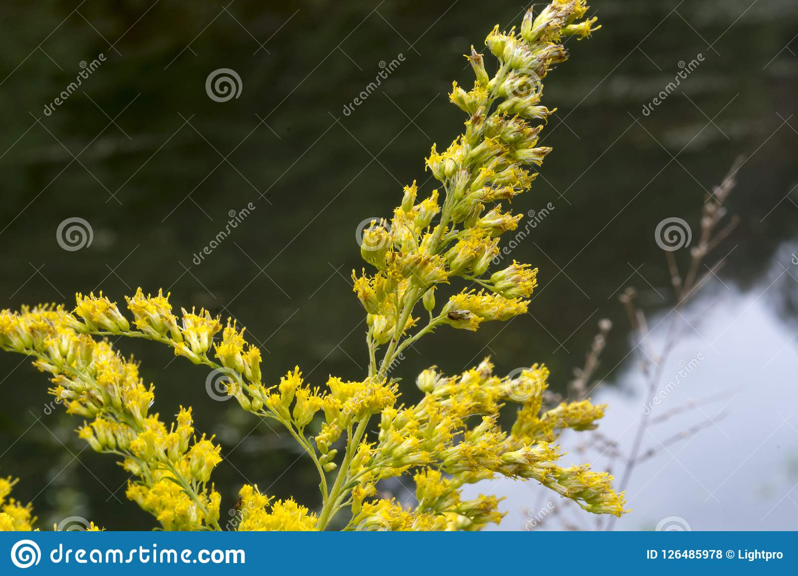 Yellow Stem Of Small Flowers Stock Photo Image Of Next Weed