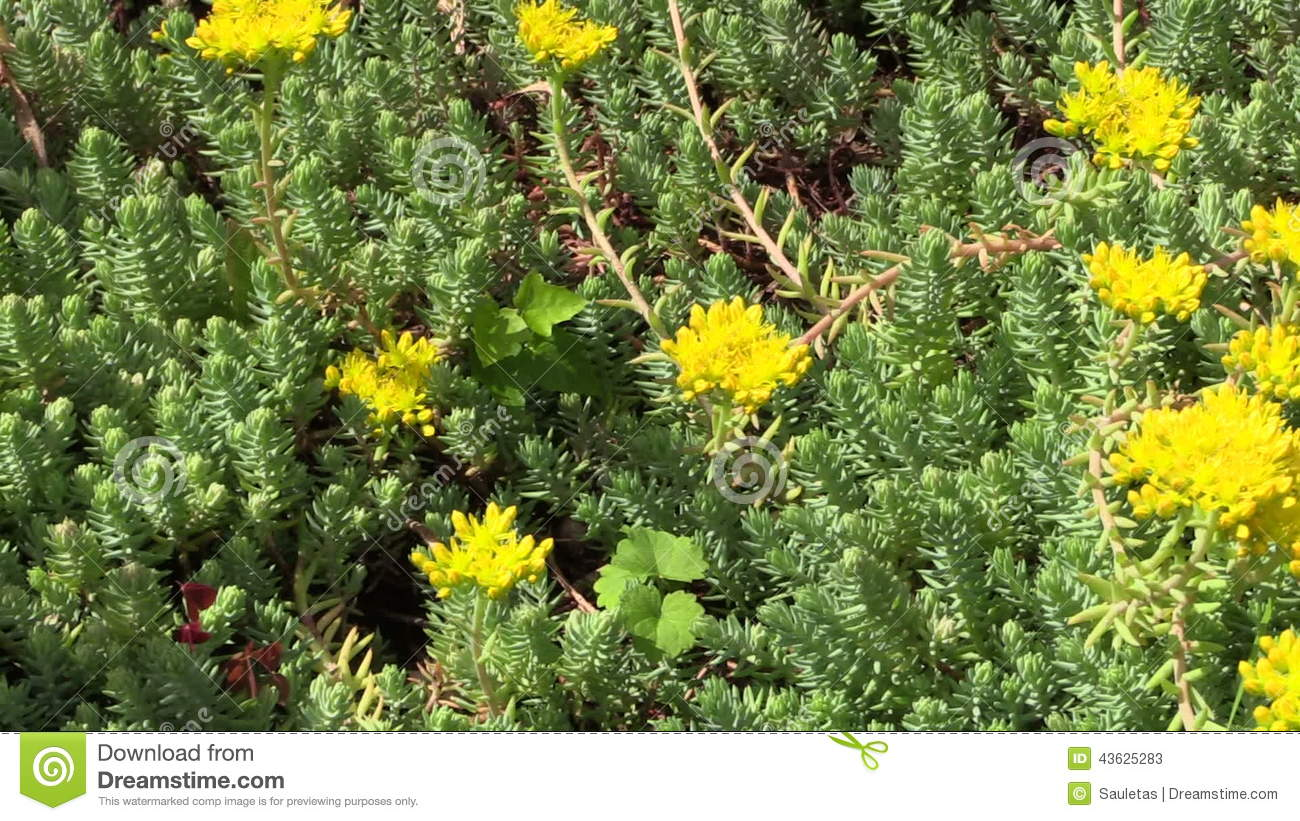 Yellow Succulent Orpin Plant Flower Blooms Grow In Garden Stock