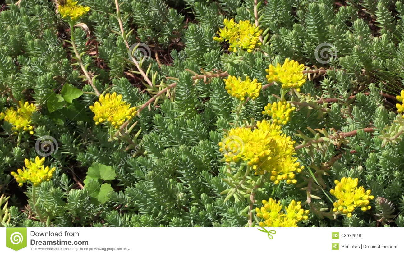 Yellow Succulent Orpin Plant Flower Grow In Garden Bumblebee Stock