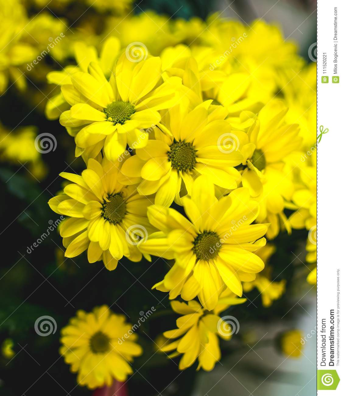 Yellow Summer Flowers Margarita Romantic Flower Stock Image Image