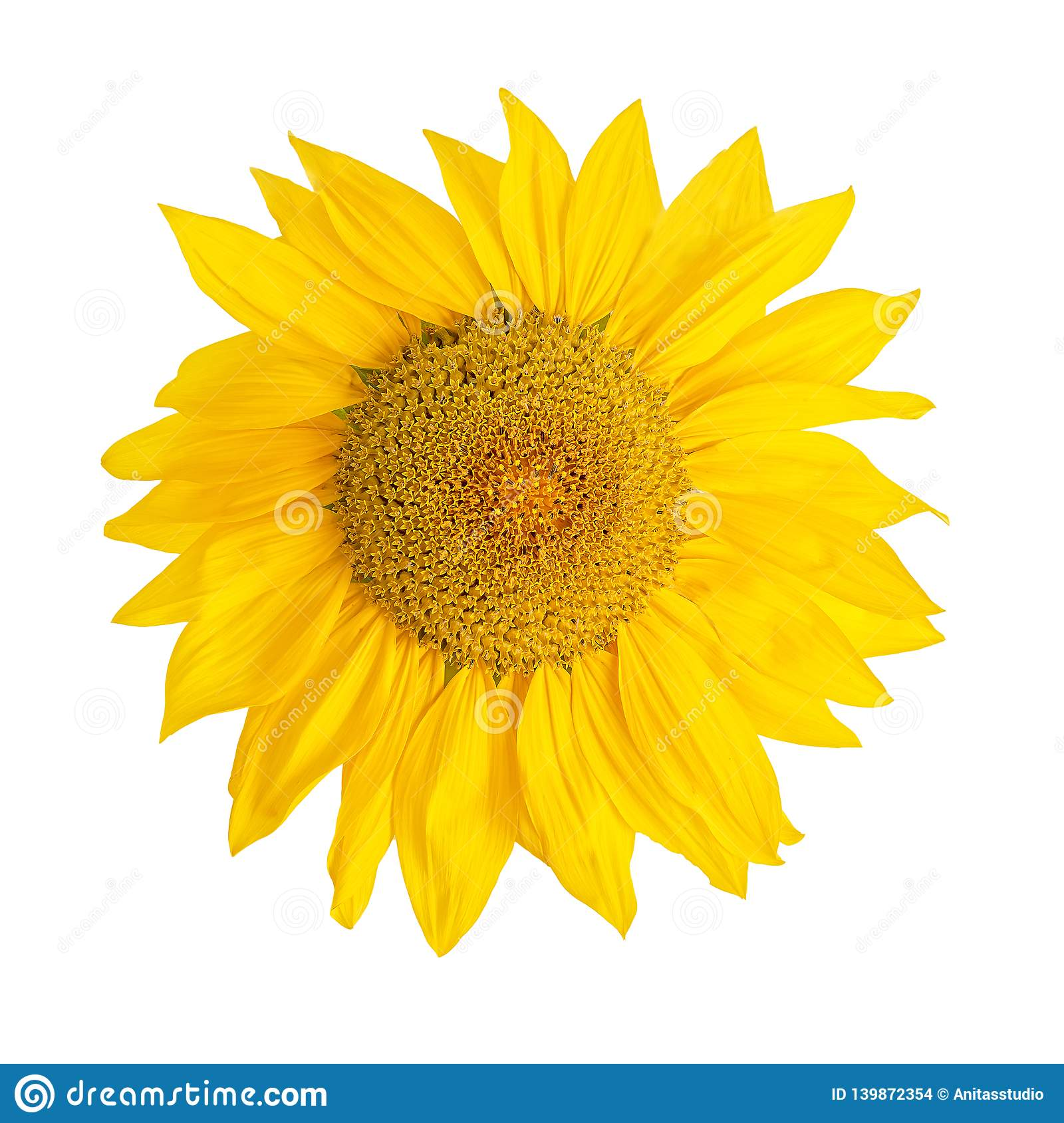 Yellow Sunflower Flower Head Isolated On White