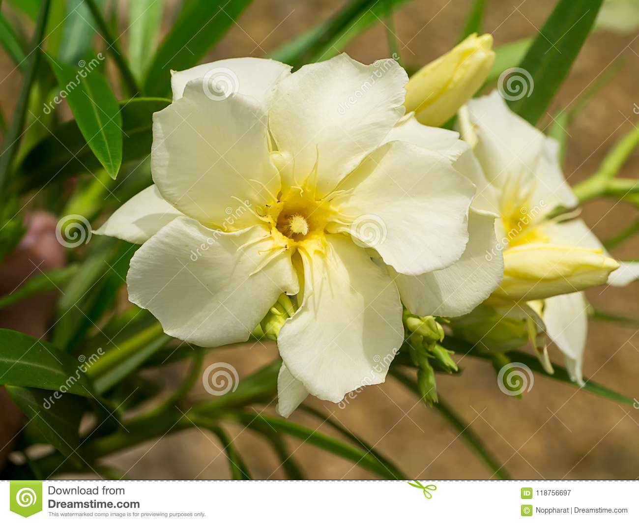 Yellow Sweet Oleander Flower Stock Image Image Of Color Beauty