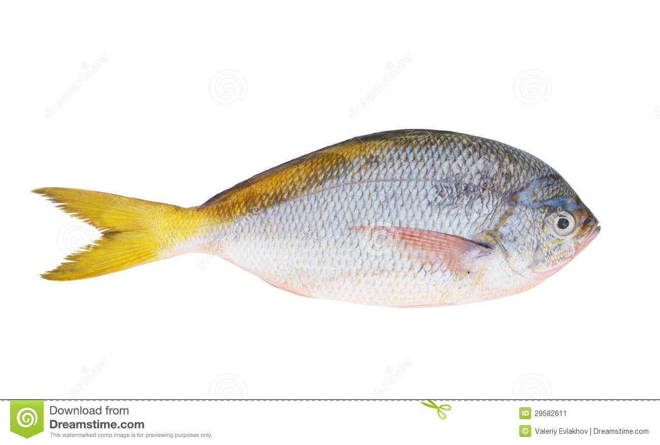 Yellow tail fish isolated stock image image of kitchen for Yellow tail fish