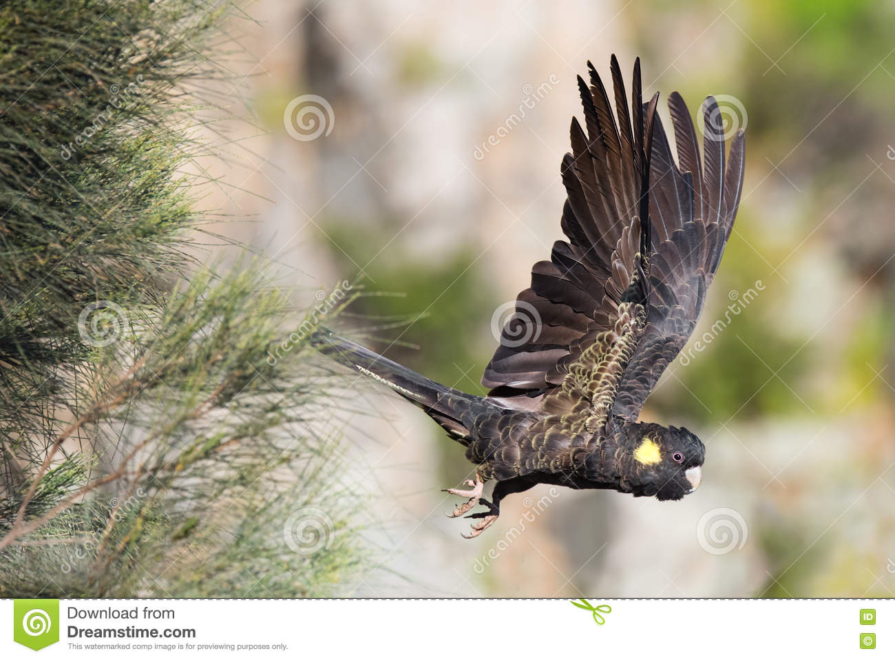 Download Yellow-Tailed Black Cockatoo In Flight Stock Photo - Image of australian, wildlife: 78499730