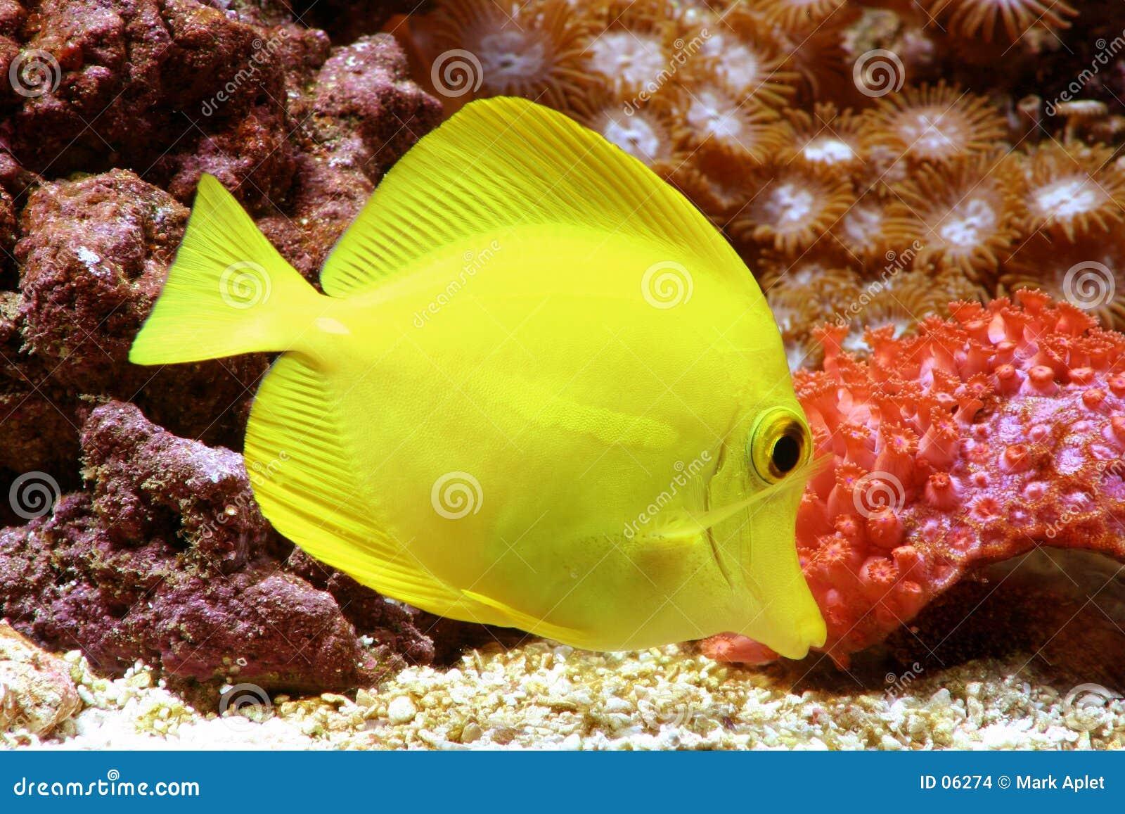 Yellow tang stock images image 6274 for Yellow tang fish