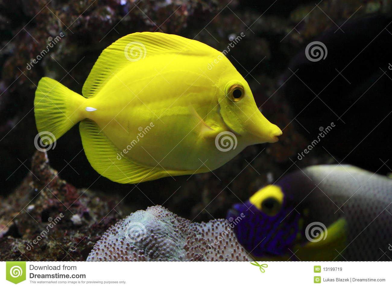 The yellow tang  Zebrasoma flavescens  is a saltwater fish species of    Zebrasoma Scopas Yellow