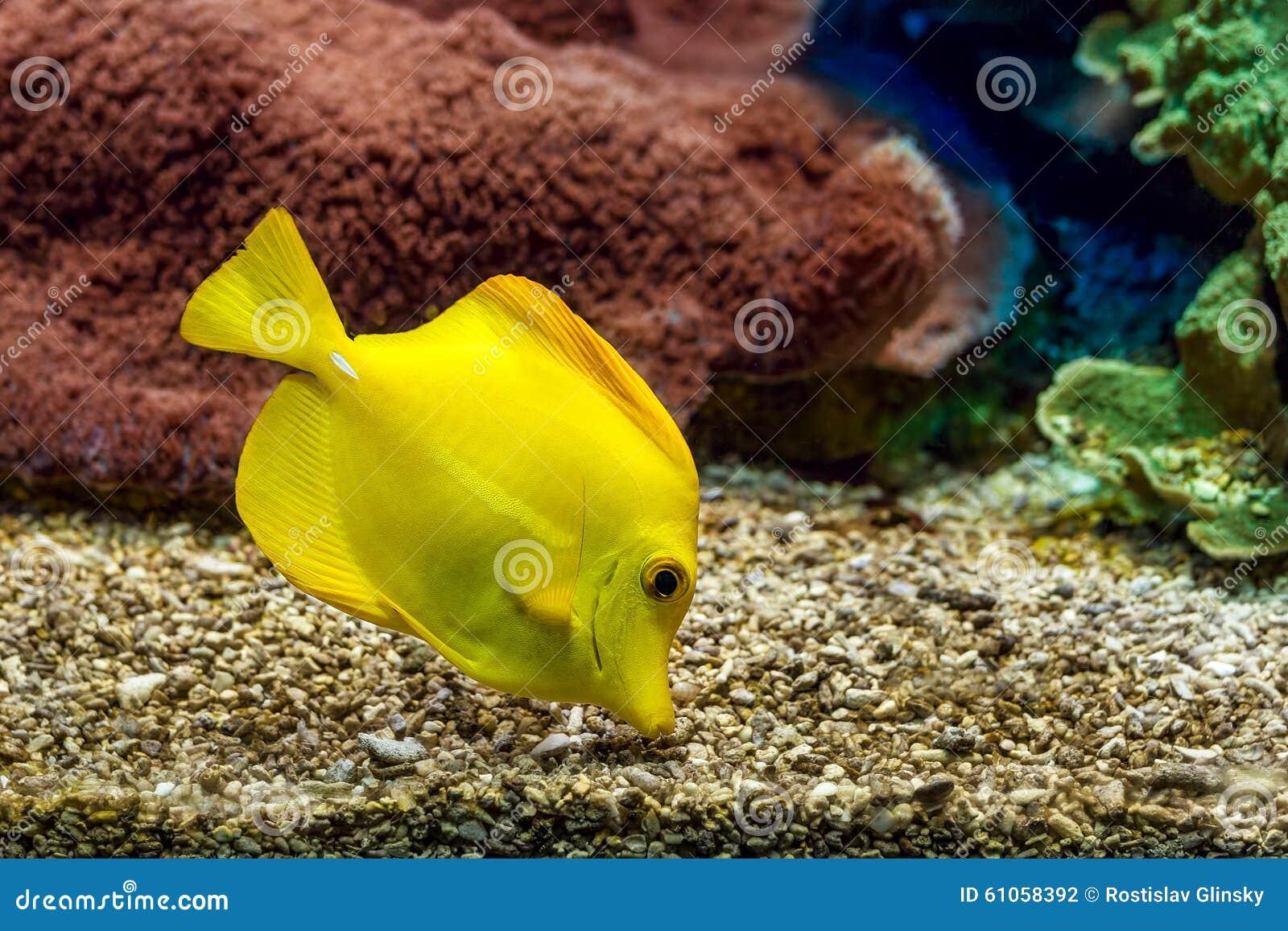 Yellow tang in aquarium stock photo image 61058392 for Saltwater fish food