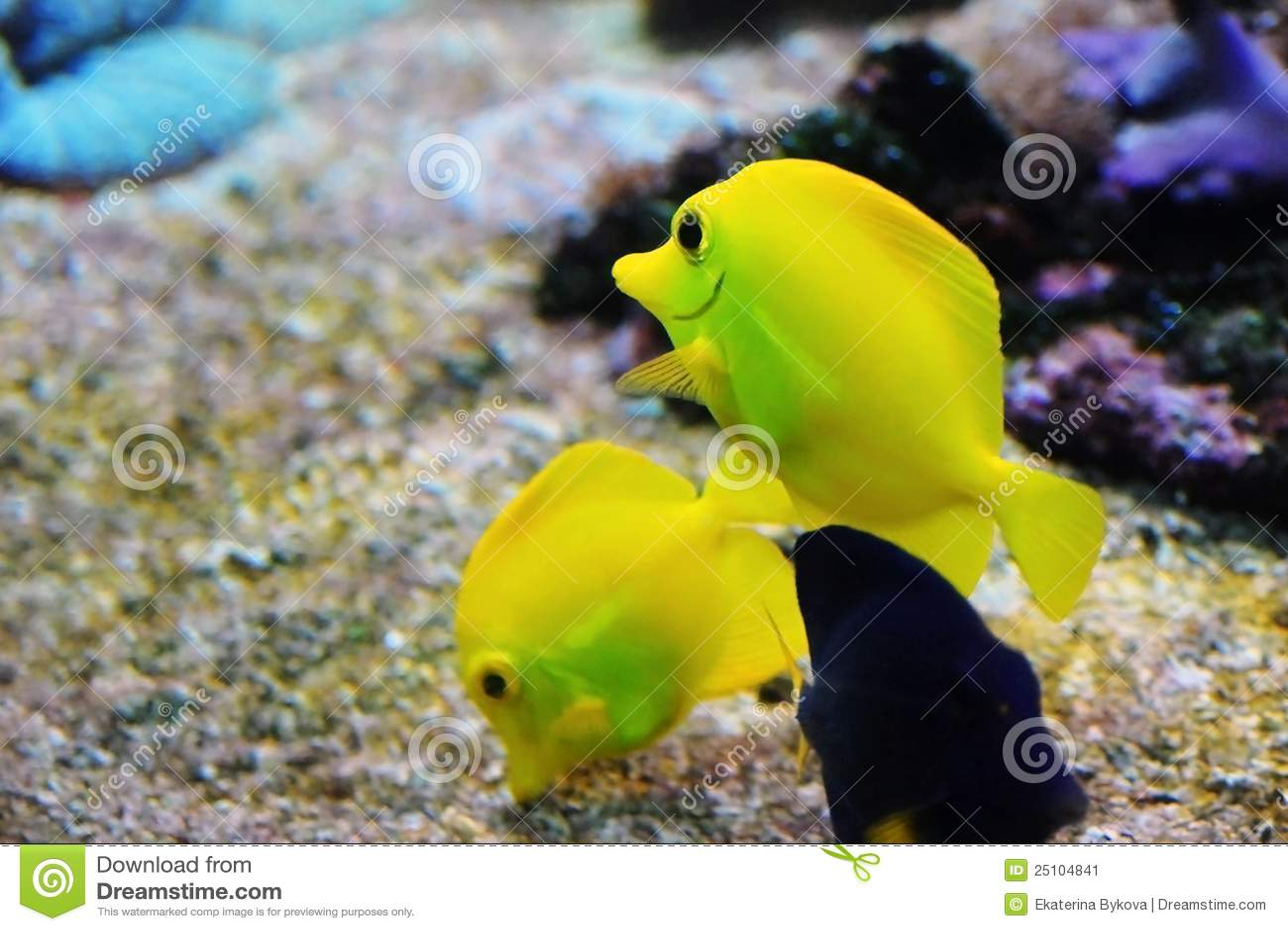 Yellow Tang Fish Stock...