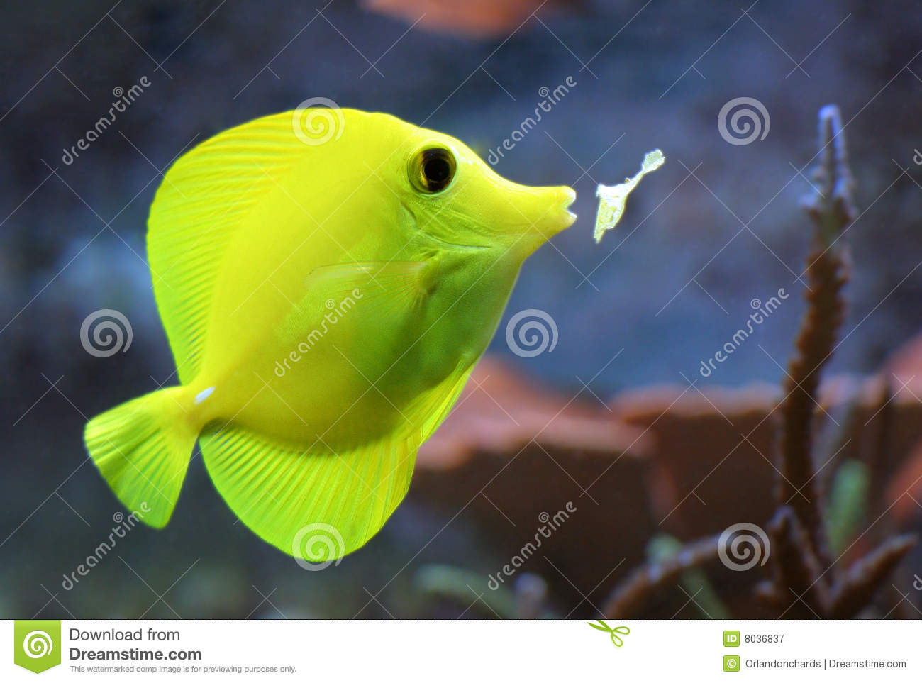 yellow tang fish, eating a flake of fish food in an aquarium, with ...