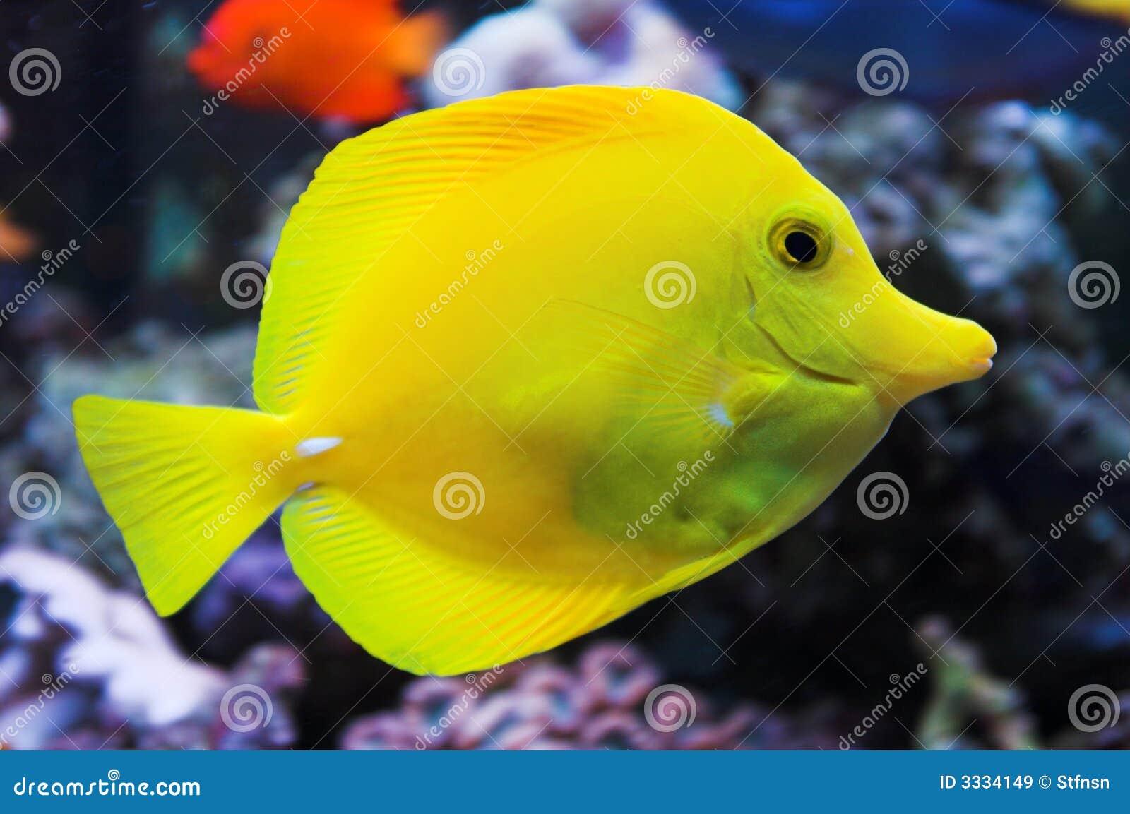 Yellow tang fish in aquarium stock image image 3334149 for Yellow tail fish