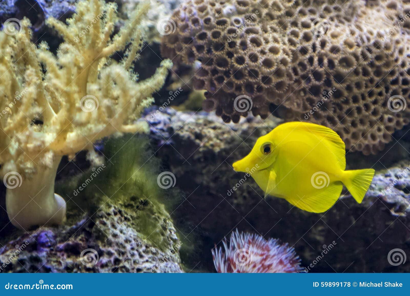 Yellow Tang Tropical Fish Stock Photo Image 59899178