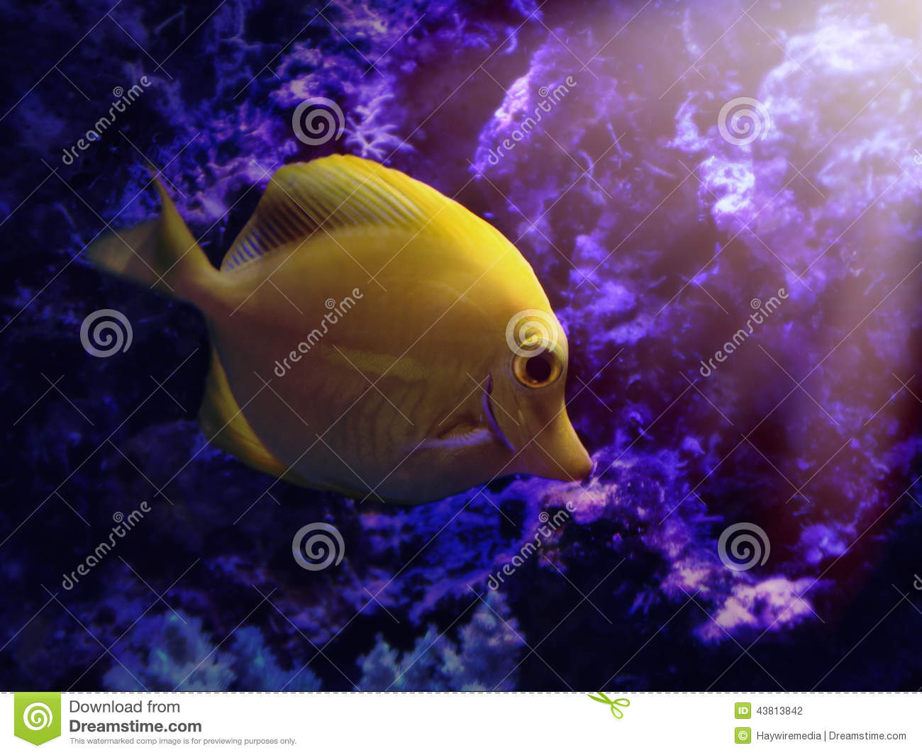 Yellow tang zebrasoma flavescens fish stock photo image for Dream of fish swimming