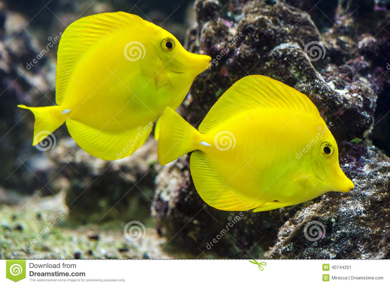 Yellow Tang Zebrasoma Flavescens Stock Photo Image