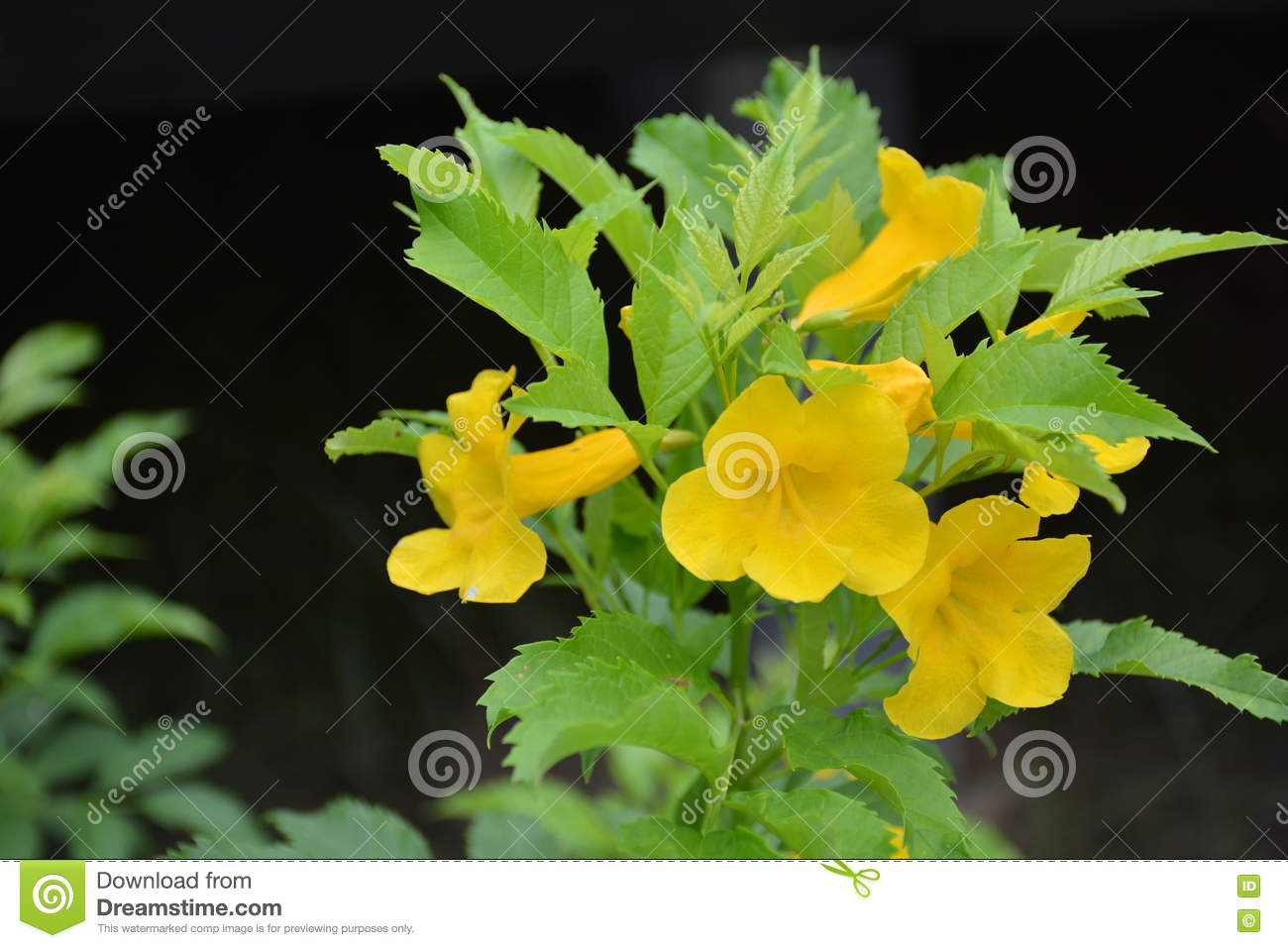 Yellow Tecoma Stans And Dark Background Stock Image Image Of