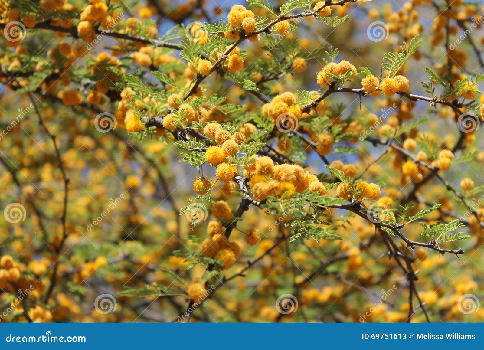 Yellow Texas Mesquite Tree Flowers Stock Image Image Of Yellow