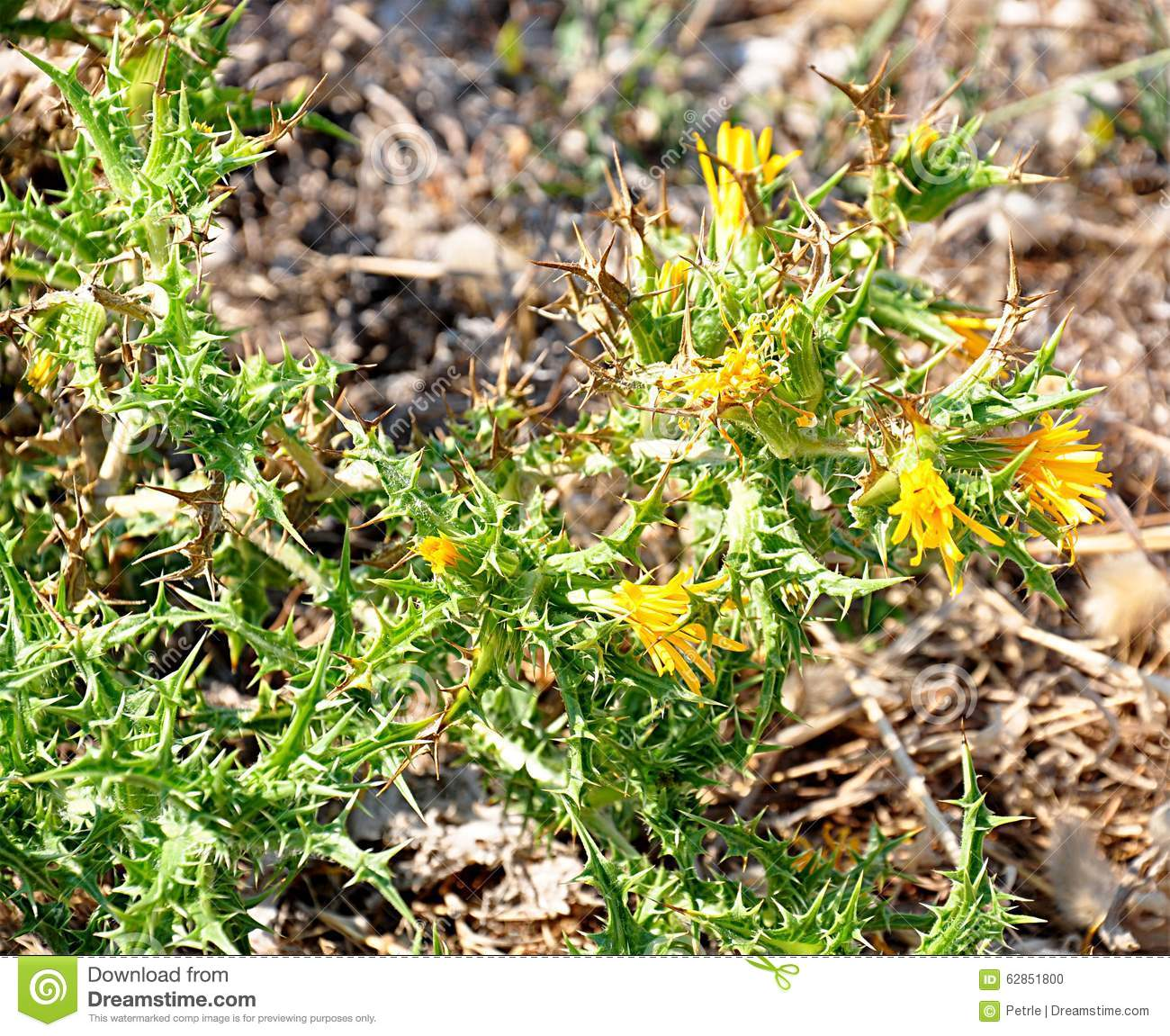 Yellow Thistle Stock Photo Image Of Flowers Meadown 62851800