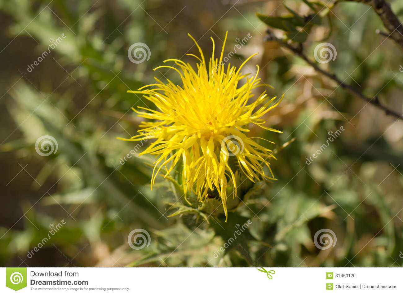 Yellow Thistle Flower Stock Photo Image Of Weed Plant 31463120