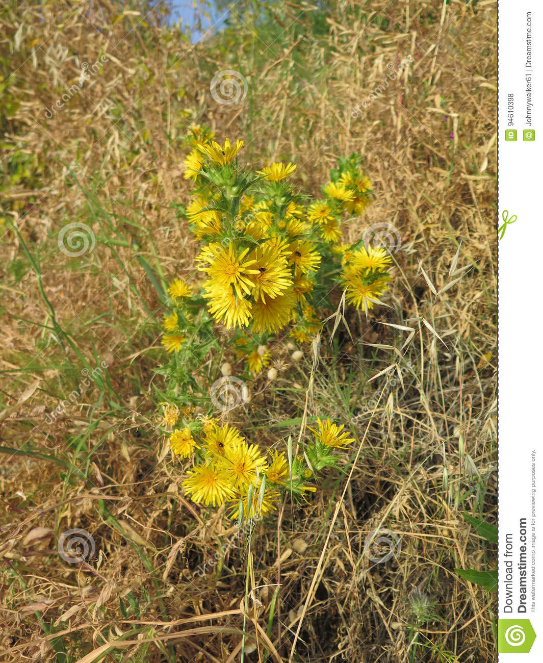 Yellow Thistle Flowers Stock Photo Image Of Summer Plant 94610398