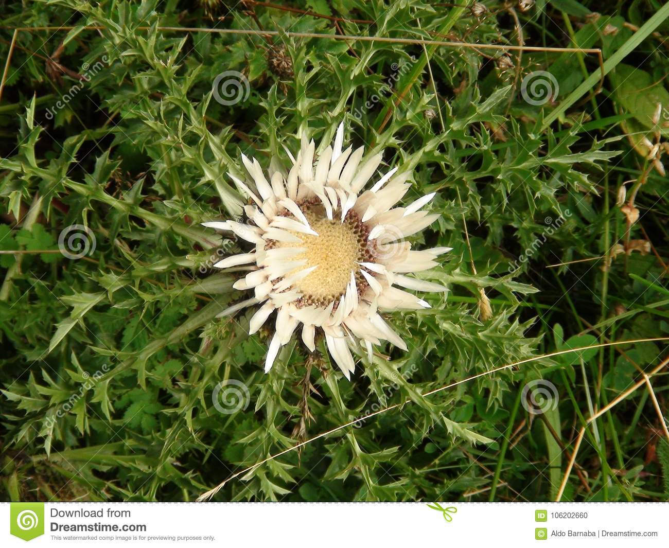 Yellow Thistle In The French Alps Mountain Stock Photo Image Of