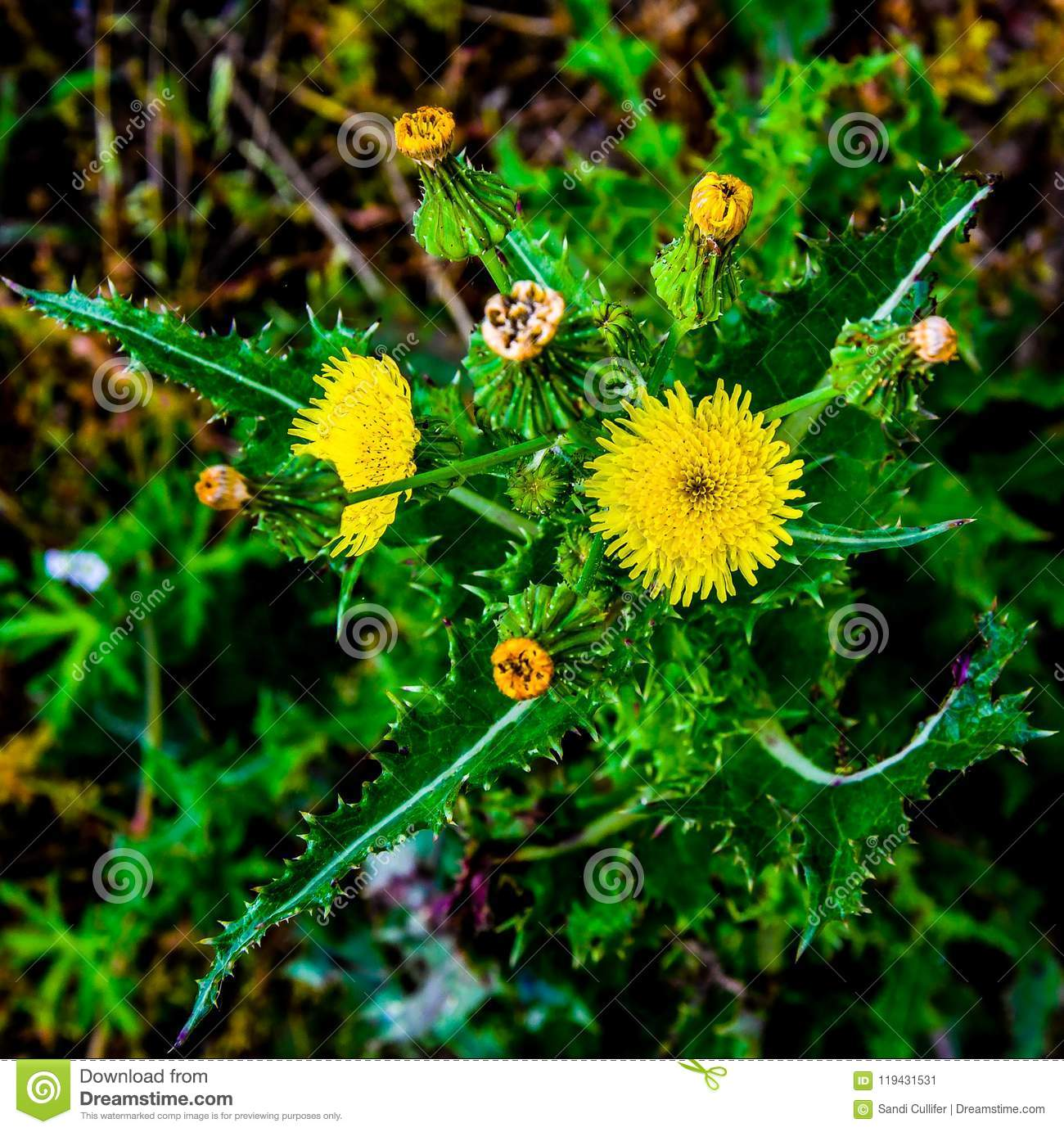 Yellow Thistle Up Close Stock Image Image Of Prickly 119431531
