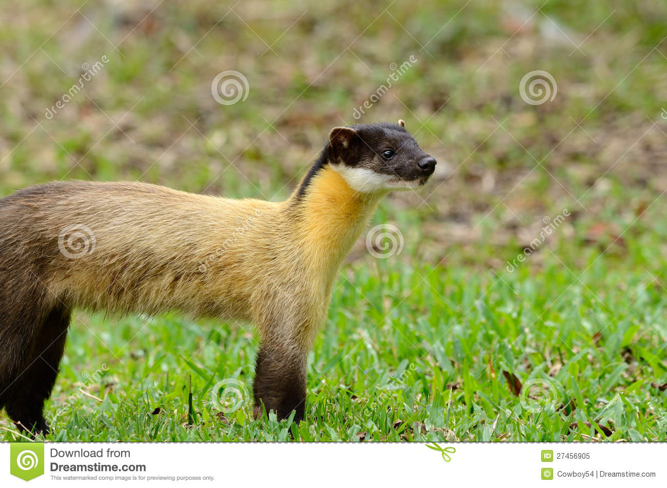 Yellow Throated Marten Martes Flavigula Royalty Free
