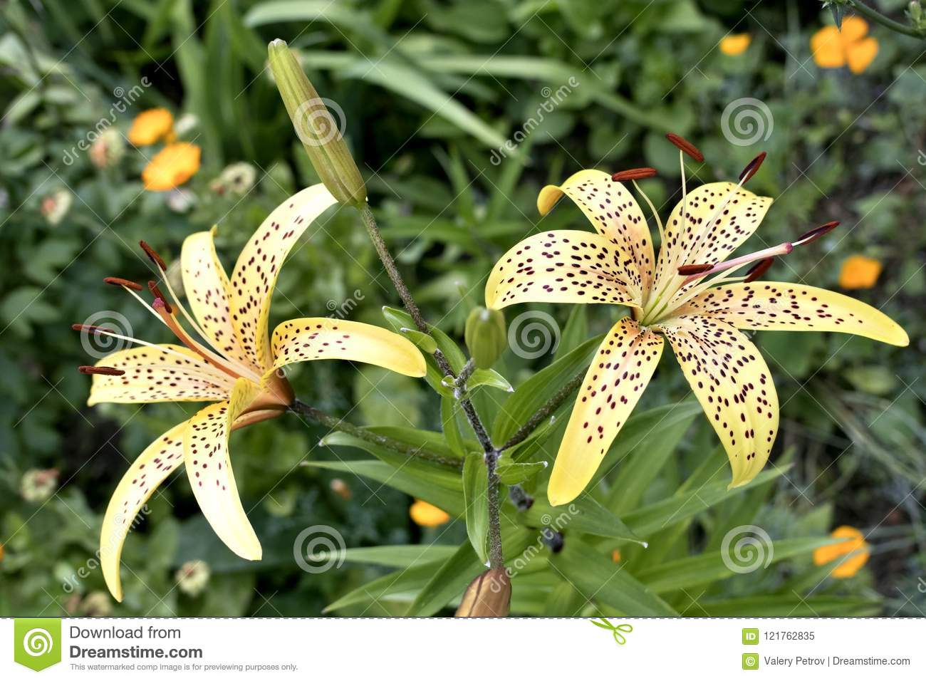 Yellow tiger lily flowers stock image image of golden 121762835 yellow tiger lily flowers izmirmasajfo