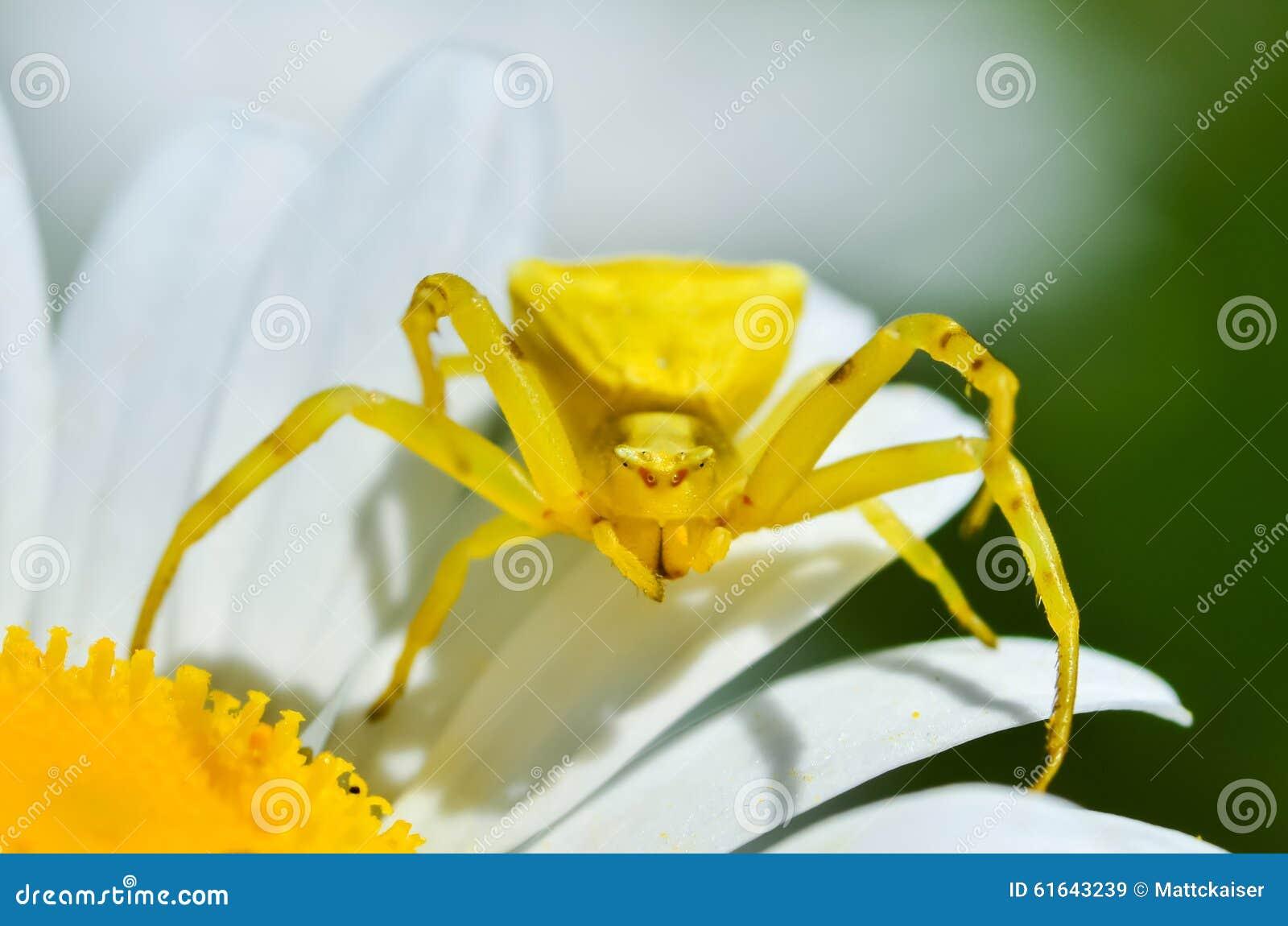 Yellow Tomisus Onustus Crab Spider On Daisy Flower Stock Photo