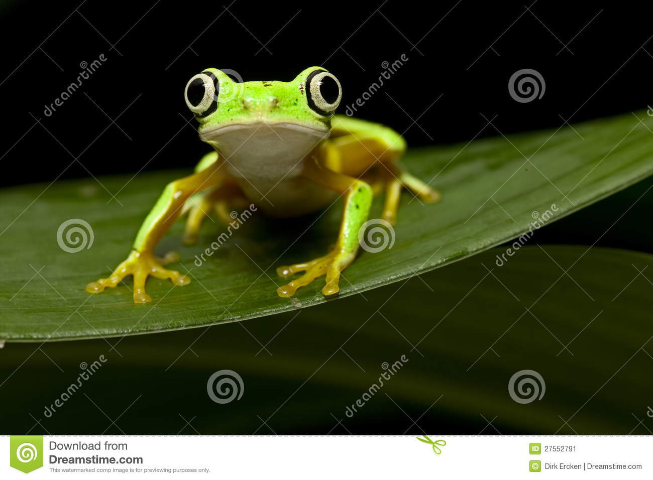 Yellow tree frog at night in tropical jungle of panama or costa rica