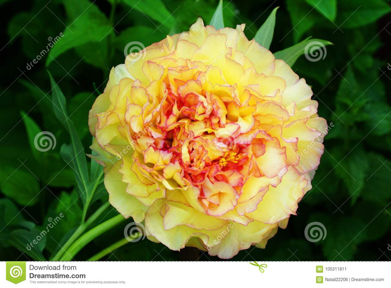 Yellow Tree Peony Paeonia Suffruticosa Stock Image Image Of