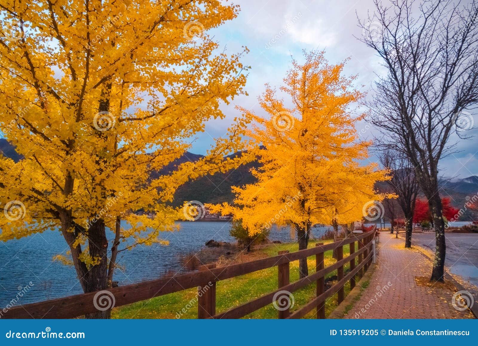 Yellow trees in autumn on a street in Fujikawaguchiko, Japan