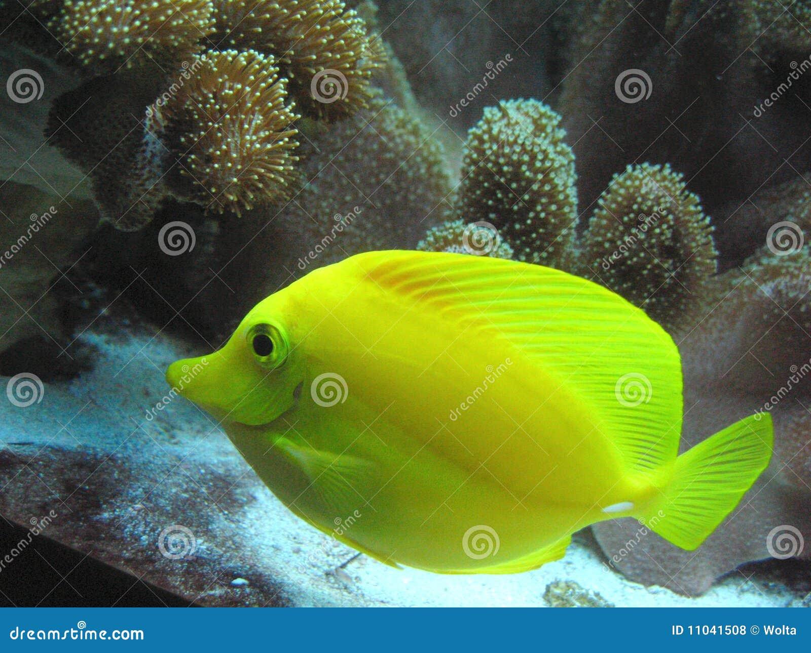 Tropical fish yellow aquarium fish yellow tang fish for Aquarium fish net