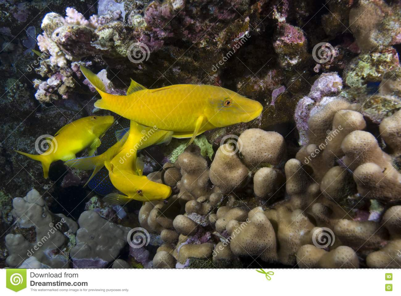 Yellow tropical fish royalty free stock photo image for Yellow tropical fish