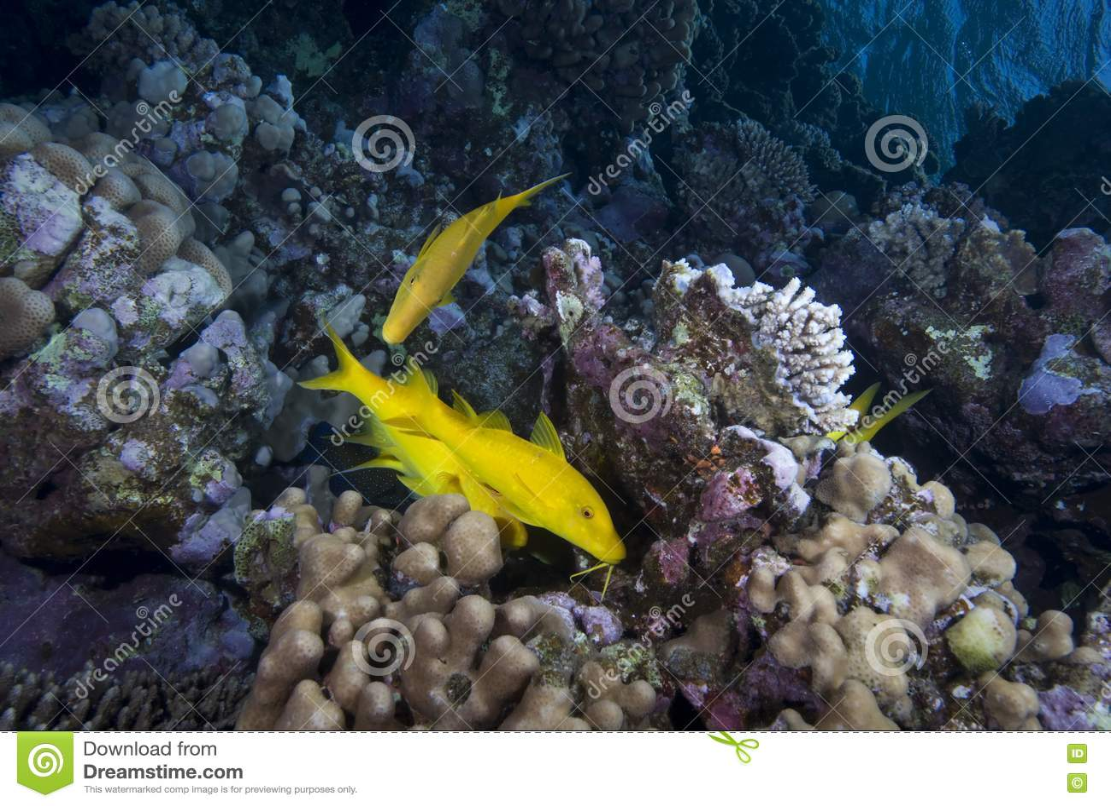 Yellow tropical fish royalty free stock photography for Polygonalplatten quarzit tropical yellow