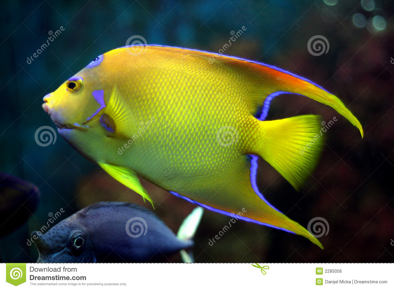 Yellow tropical fish royalty free stock image image 2285056 for Yellow tropical fish