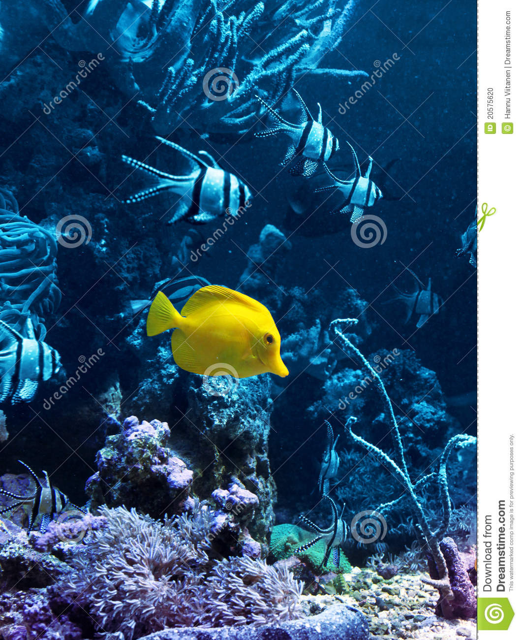 Yellow Tropical Fish In Blue Stock Photo Image 20575620