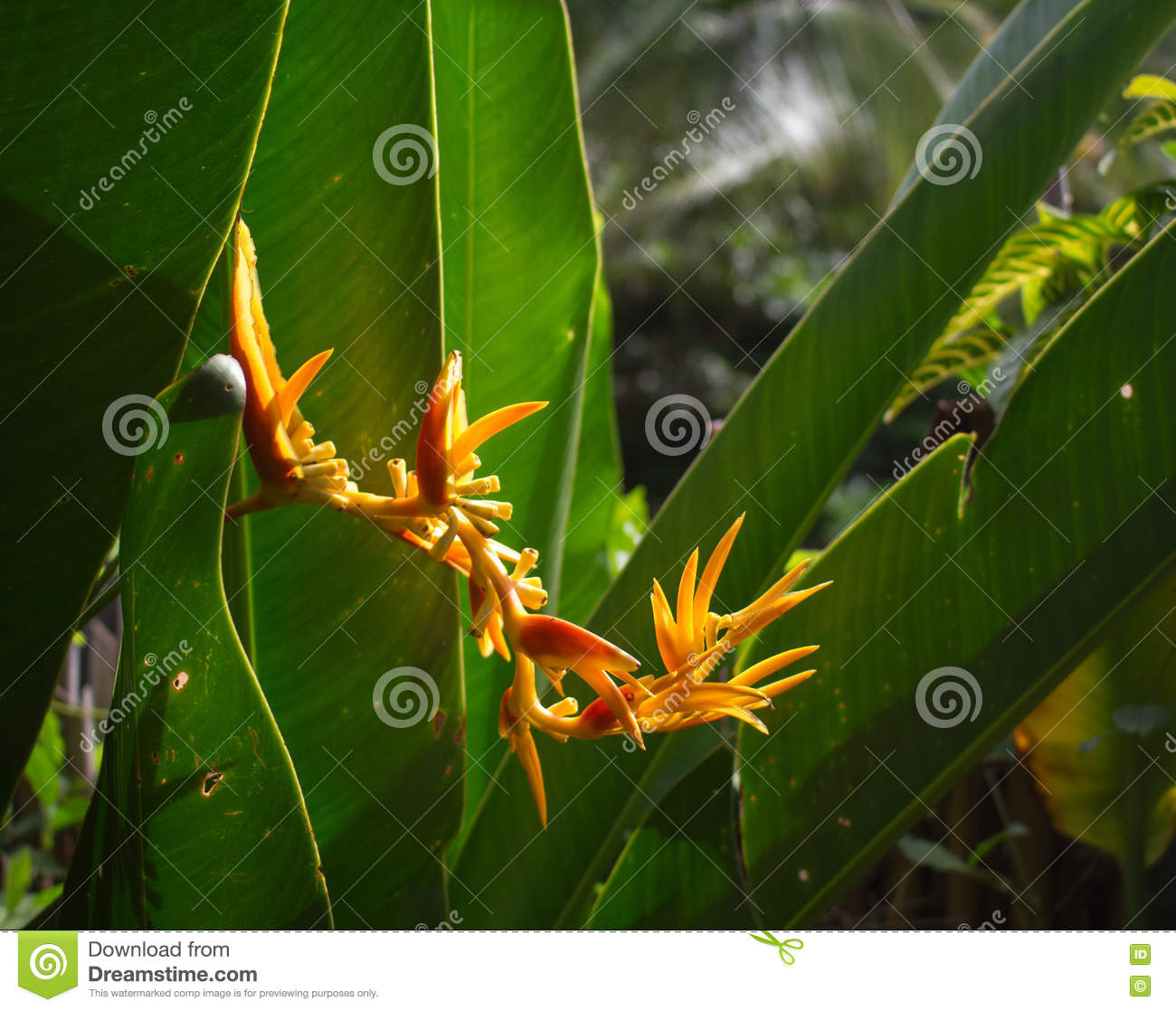 Yellow tropical flower in jungle beautiful exotic plant in garden royalty free stock photo izmirmasajfo