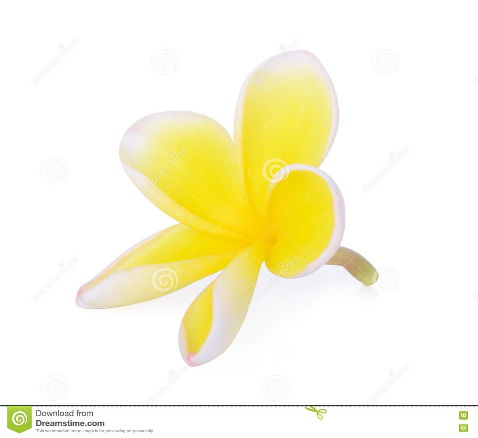 Yellow Tropical Flowers Frangipani Plumeria Isolated On White