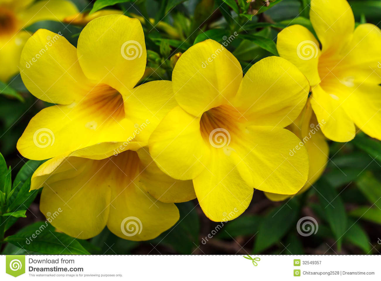 yellow tropical flowers royalty free stock photography  image, Natural flower