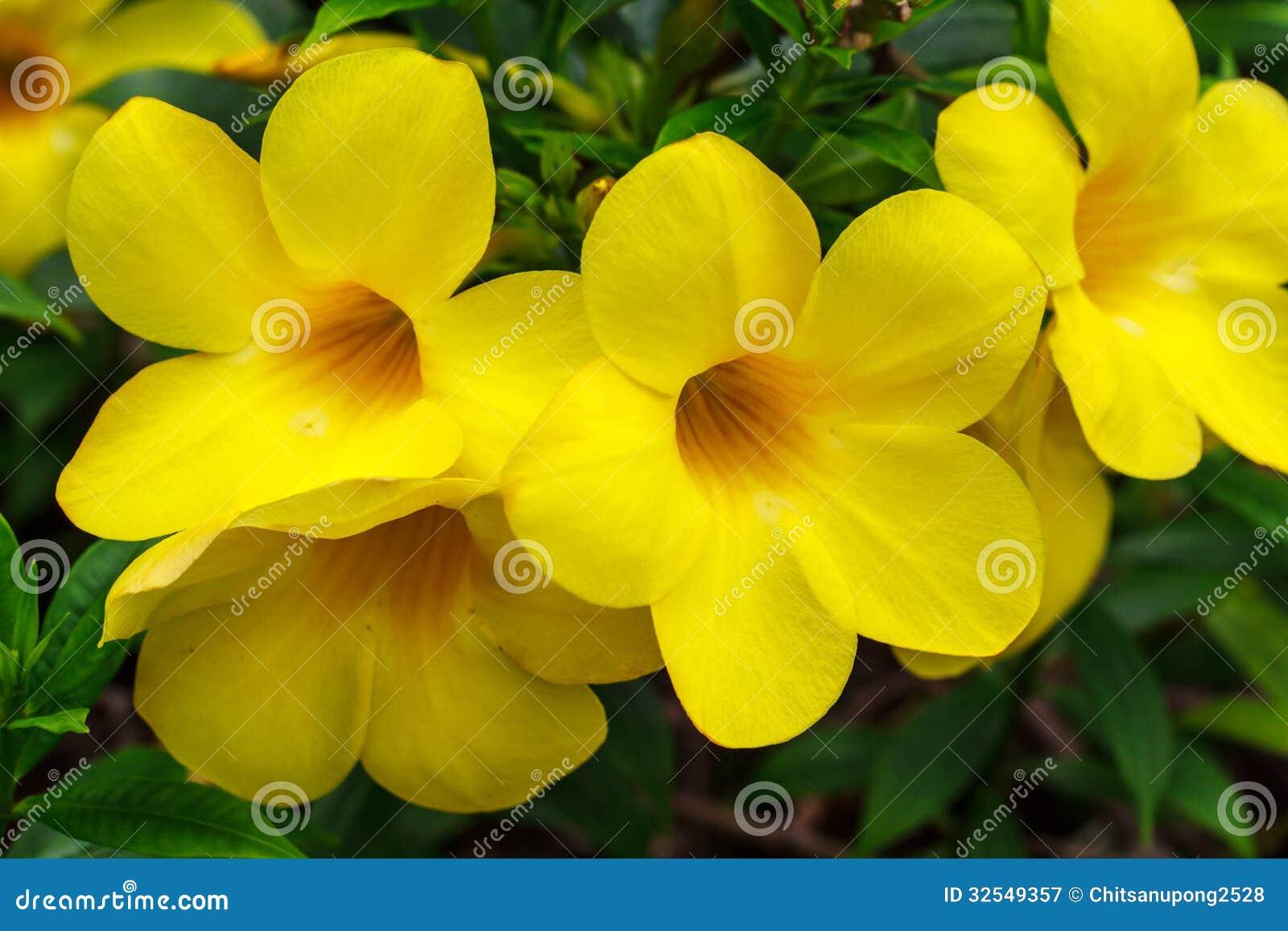 yellow tropical flowers  magiel, Beautiful flower