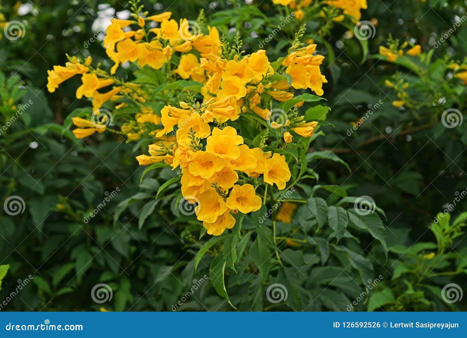 Yellow Trumpet Bush Yellow Bells Yellow Elder Stock Photo