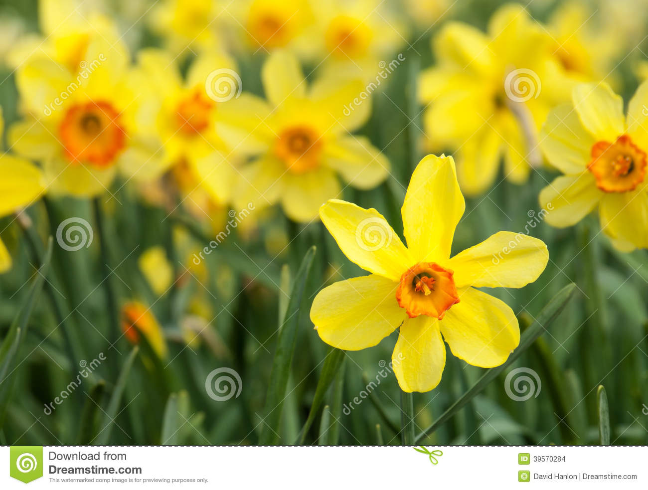 Yellow Trumpet Daffodils In A Daffodil Field Stock Photo Image Of