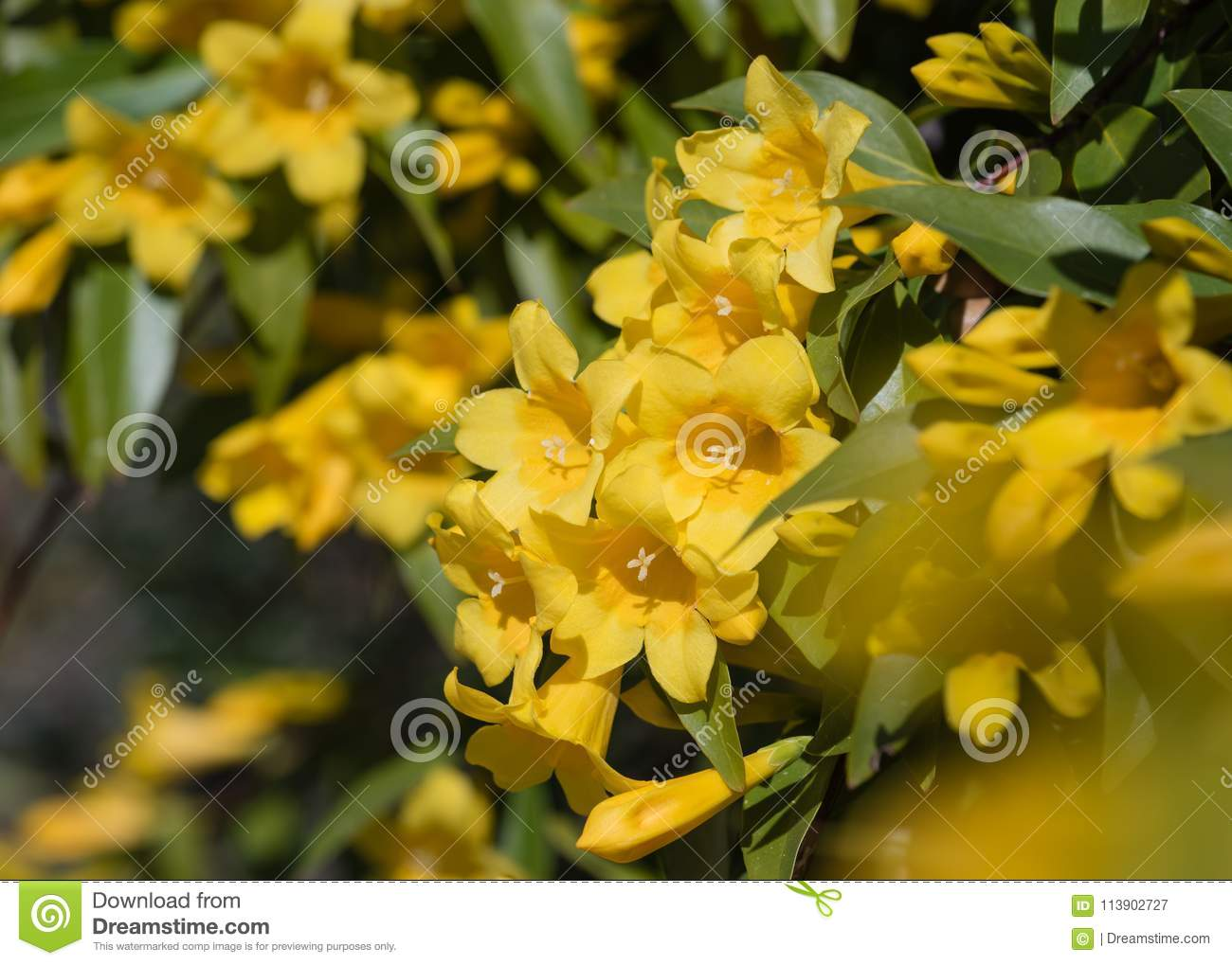 Yellow trumpet flower vine on sunny day stock image image of macro yellow trumpet flower vine on sunny day mightylinksfo