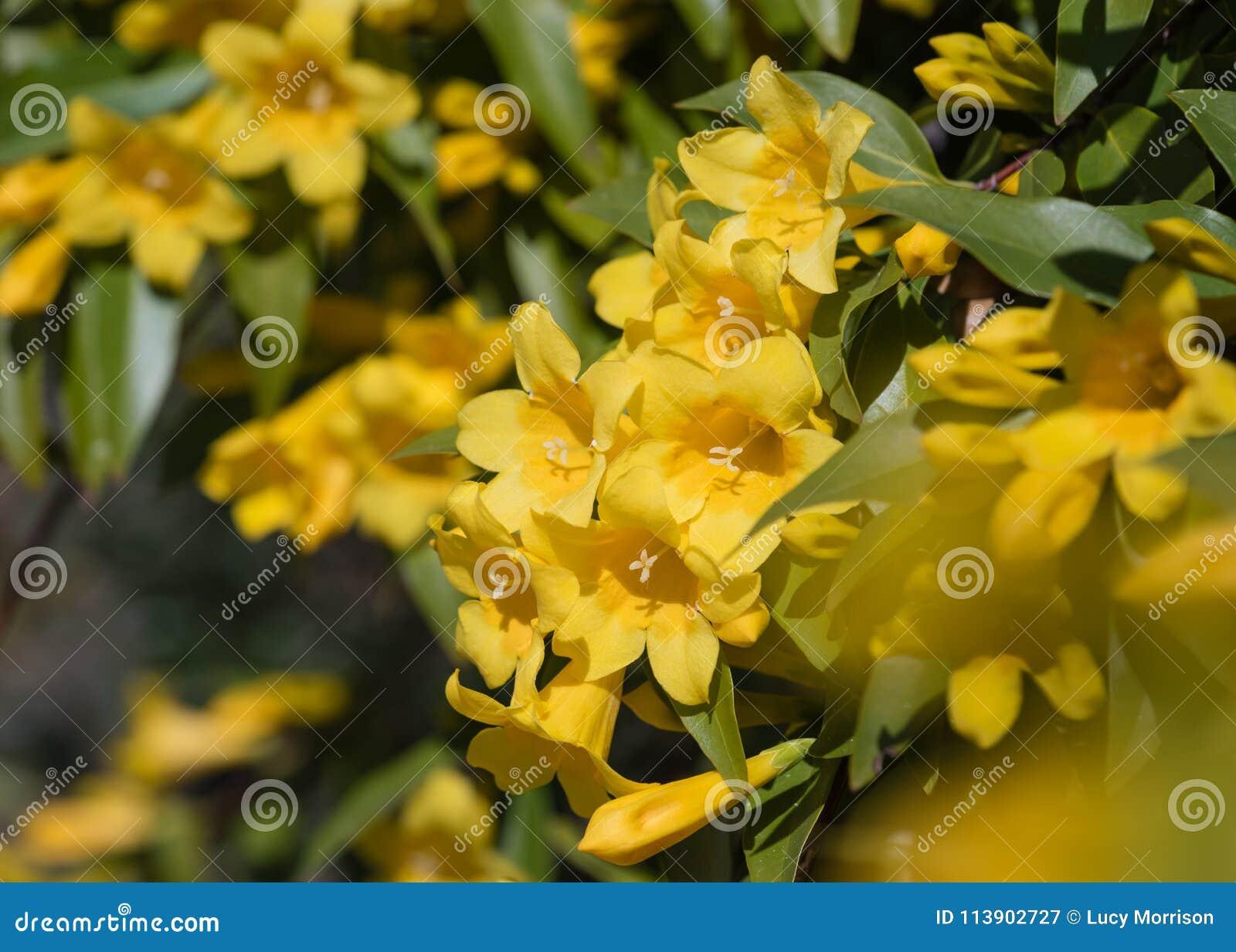 Yellow Trumpet Flower Vine On Sunny Day Stock Image Image Of Macro