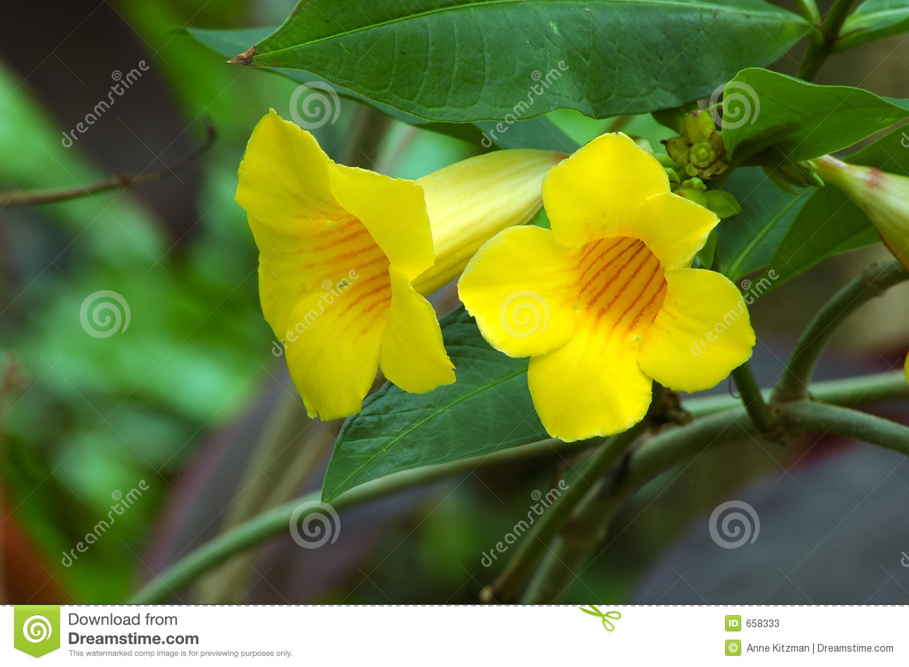 Yellow Trumpet Vine Stock Image Image Of Summer Closeup 658333