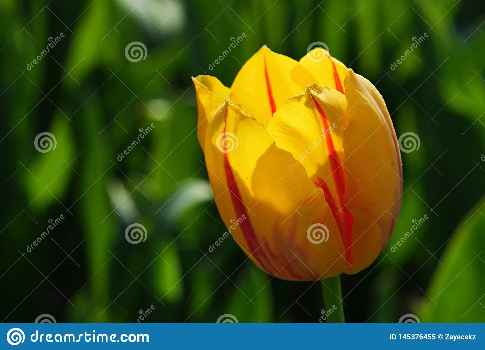 Yellow tulip flower with red vertical stripes on petals, hybrid name Twinkle
